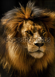 лев грива