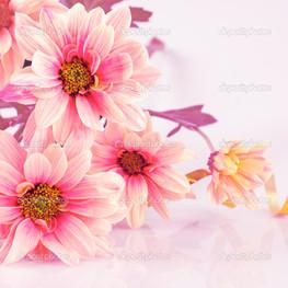 розовая ромашка на столе