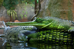 зелёный крокодил