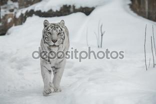 белый тигр смотрит