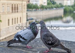 серые голуби любовь