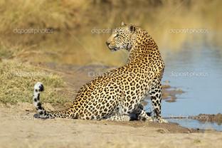леопард на водопое