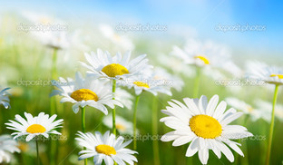 поле белых ромашек