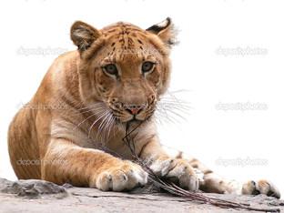 тигр на белом фоне