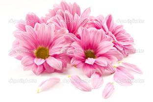 розовые цветы на белом