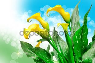жёлтые каллы