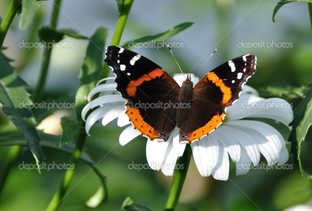красный адмирал бабочка и цветок