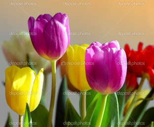 цветные тюльпаны