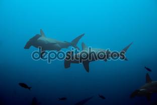 две акулы молота