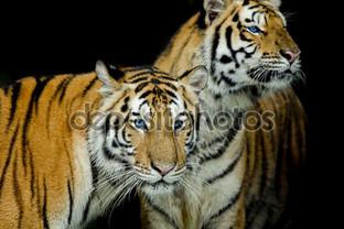два молодых тигра