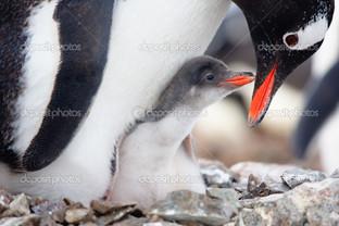 пингвины гнездо