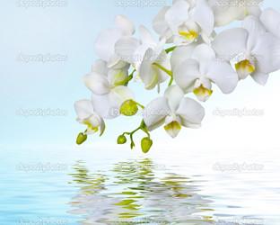 белая орхидея на голубом
