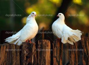 голуби на заборе