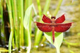красная стрекоза