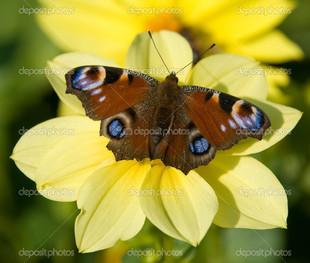 бабочка павлин на цветке