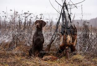 охота собака