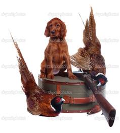 сеттер щенок и два фазаны