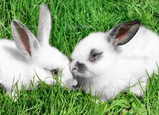 два белых кролика