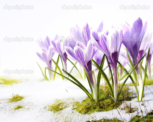 весна крокусы снег