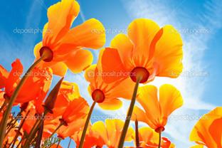 оранжевые маки