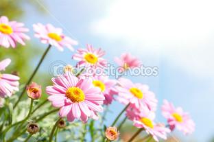 розовые ромашки и небо