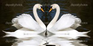 два лебедя любовь