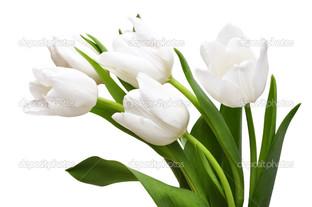 белые тюльпаны на белом