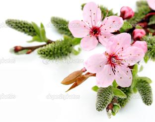 два цветка сакура