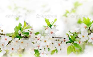 ветка сакуры цветёт