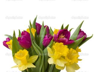 жёлтые нарцисcы и тюльпаны