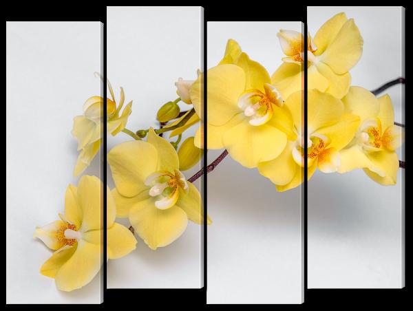Желтые орхидеи на белом
