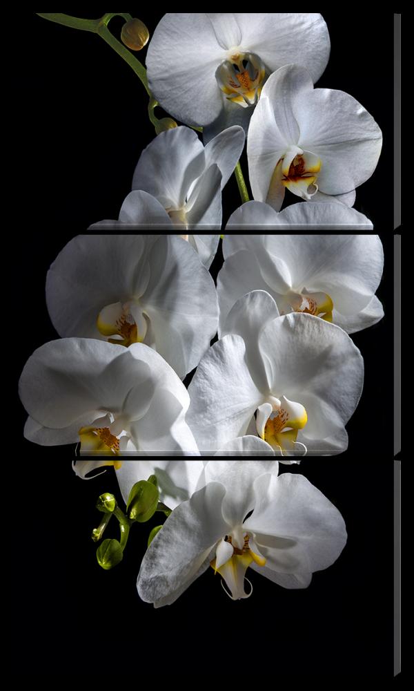 Белая орхидея на черном