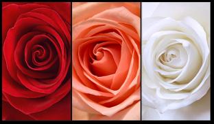 Розы нежные
