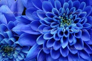 синяя астра