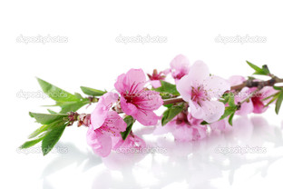 розовая сакура на белом