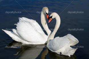 два красивых лебедя встретились