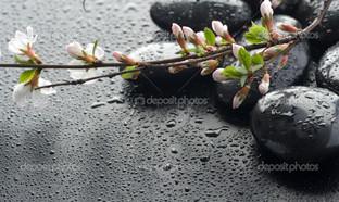 на черном фоне ветка сакуры