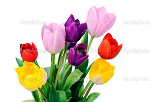 цветные тюльпаны на белом