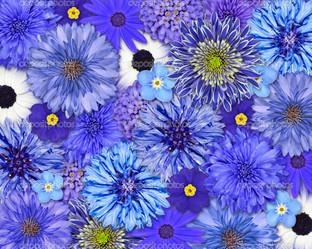 голубые гвоздики
