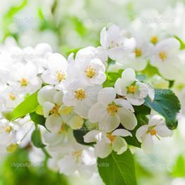 цветы на ветке вишня