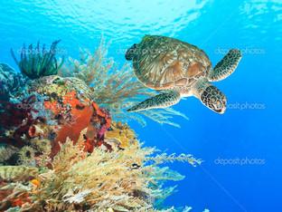 черепаха и коралловый