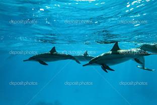 плаваующей дельфины в голубой воде