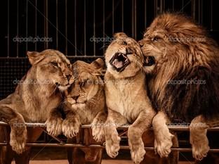 львиный прайд четыре