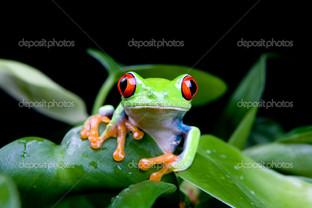красноглазая деревесная лягушка