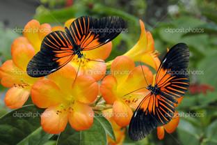 тропическая бабочка