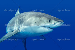 акула близко