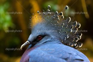 голубь Виктория на зеленом