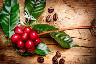 красный кофе бобовые на ветке
