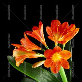 оранжевые цветы, лилия кливия