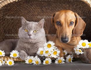 британский котенок и собака такса